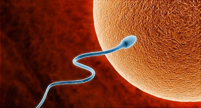 sperm swimming toward egg illustration