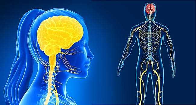 Humanoid Nervous System Facts And Functions
