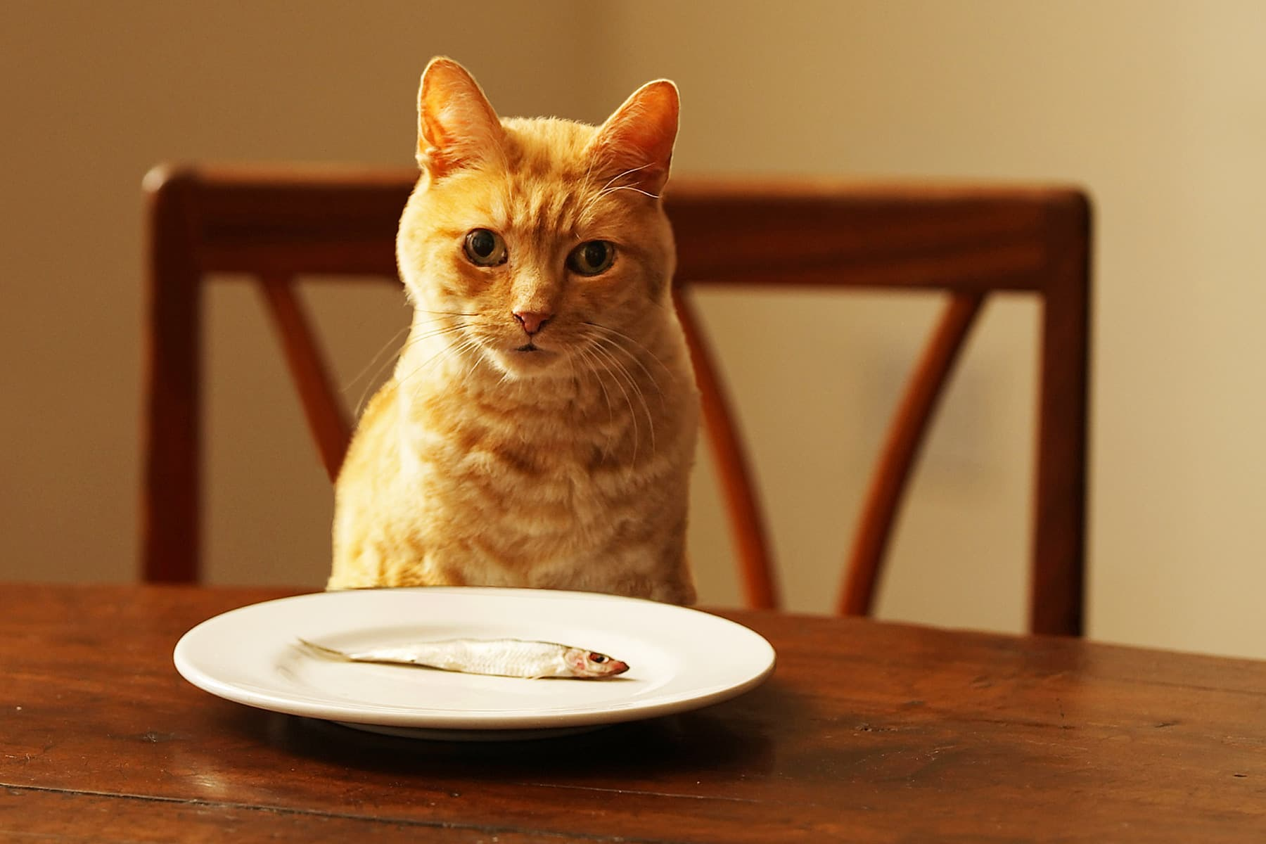 how.many times should.a.cat be fed raw diet
