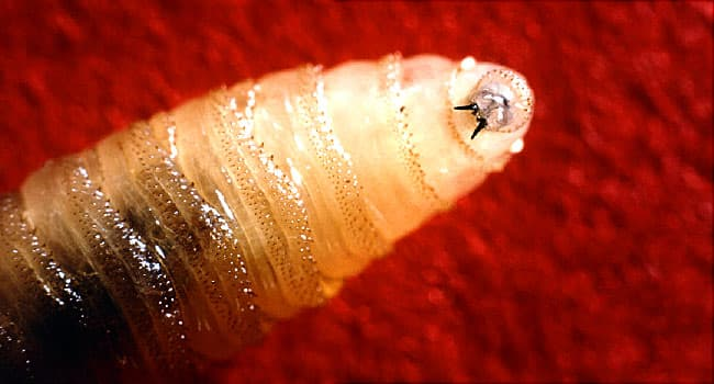 Pictures of Bugs That Burrow Into Your Skin: Lice, TIcks, Scabies
