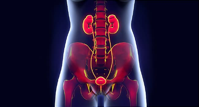 urinary tract illustration