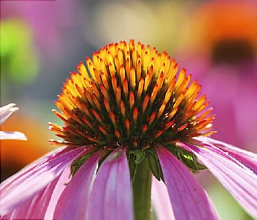 echinacea video can this herb prevent or shorten colds. Black Bedroom Furniture Sets. Home Design Ideas