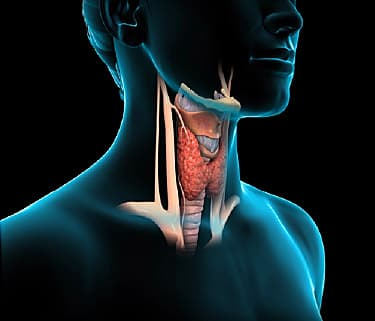 The Thyroid (Human Anatomy): Picture, Function, Definition ...