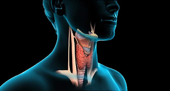 How Does Your Thyroid Work?