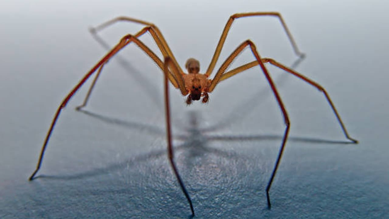 Brown Recluse Spider Bite Treatment And First Aid Information