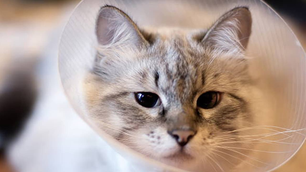 Cat crying meaning