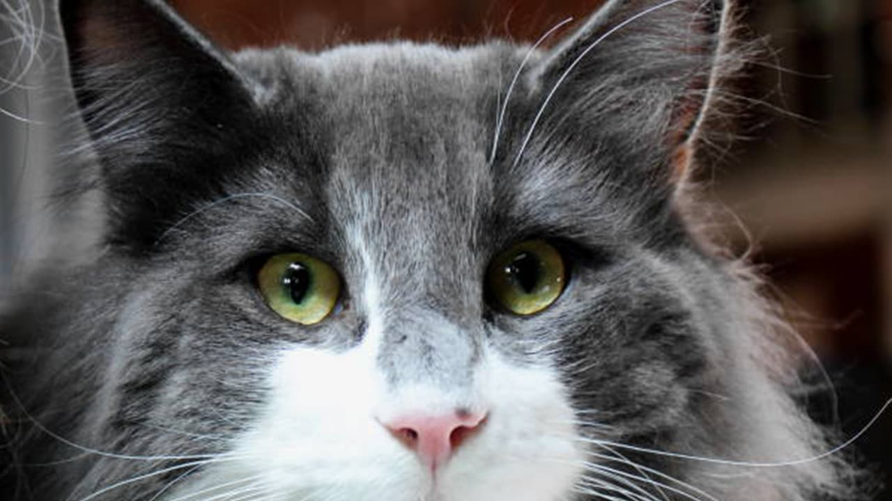 Eye Discharge in Cats