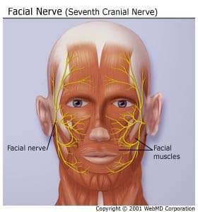 Facial Muscles And Nerves 96
