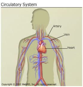 Anatomy and circulation of the heart how does blood travel through the heart ccuart