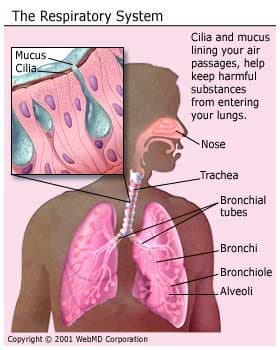 Human Respiratory System & Lungs: How They Work, Gas Exchange, & More