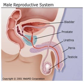 The Male Reproductive System: , Function, and More Male Reproductive System Diagram on male digestive tract diagram, skeletal system diagram, musculoskeletal system diagram, male skeletal system human skeleton, circulatory system diagram, bull reproductive tract diagram, pituitary system diagram, heart diagram, immune system diagram, male reproductive function, respiratory system diagram, spermatogenesis diagram, cardiovascular system diagram, digestive system diagram, nervous system diagram, the endocrine system diagram,