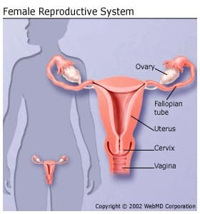 female reproductive system: organs, function, and more, Sphenoid