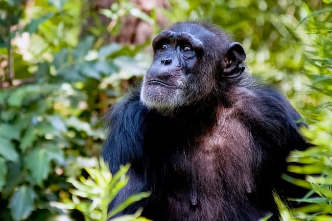 photo of chimpanzee