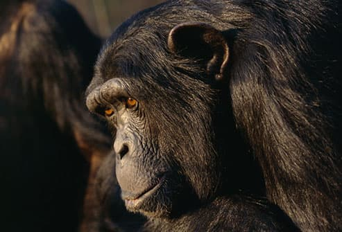 Mature male chimpanzee (Pan troglodytes)