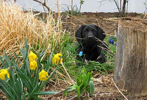 Black lab hiding in garden