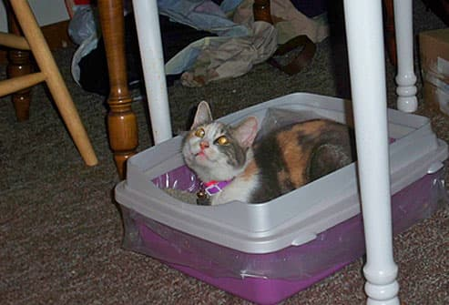 Calico cat lying in litter box