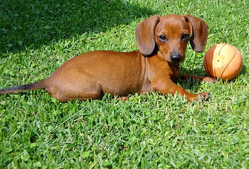 Daschund lying in the grass