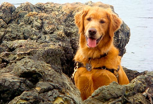 Golden retriever sitting among rocks
