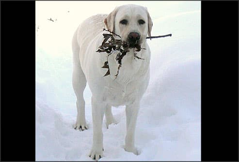 White lab in snow with stick