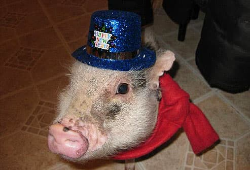 Pig wearing new year party hat