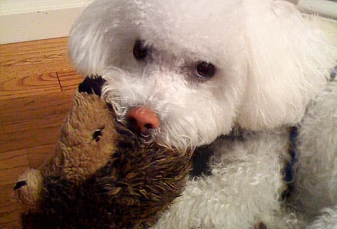 Bichon frise with hedgehog toy