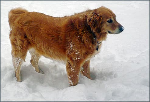Golden retriever standing in snow