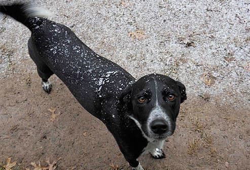Black and white dog covered in snowflakes