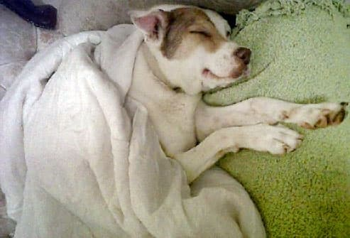 White dog under blanket dreaming