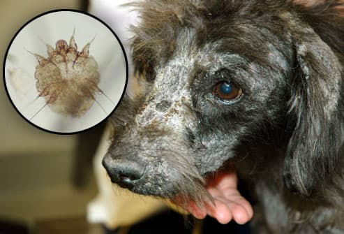 Dog with mange/Microscopic image of mange-mite