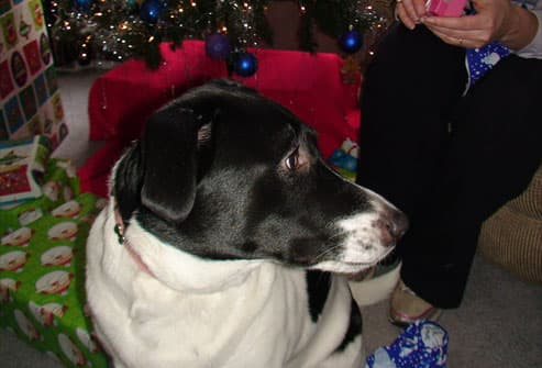 Black and white dog with presents