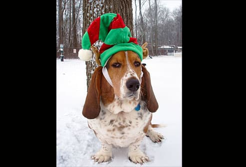 Basset hound wearing elf hat