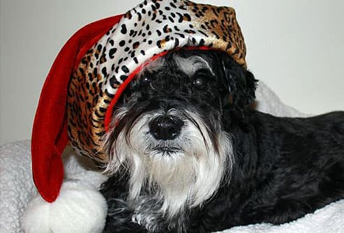 Black and white dog in leopard hat