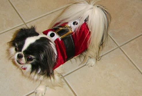 Black and white terrier in santa shirt