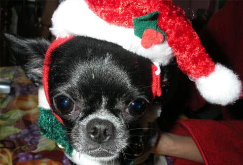 Black Chihuahua in santa hat