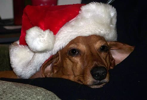 Brown dog wearing santa hat