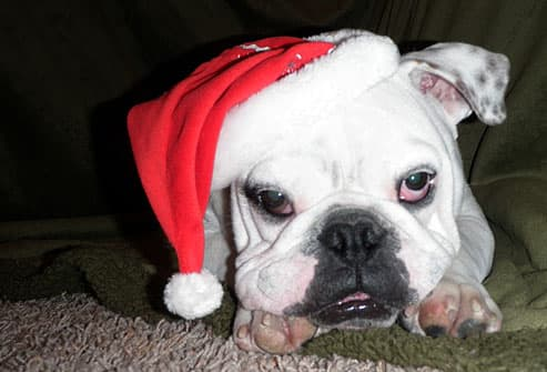 White bulldog in santa hat