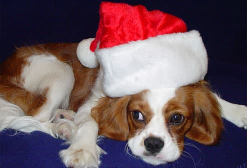 Cocker spaniel in santa hat