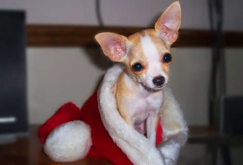 Fawn Chihuahua in santa hat