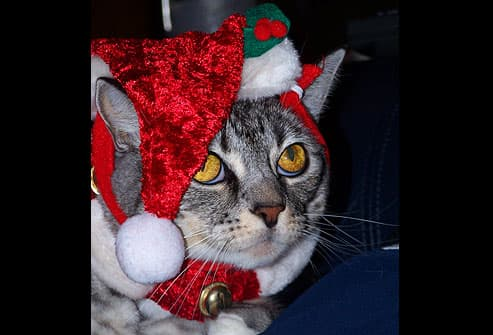 Gray cat wearing santa hat and bells