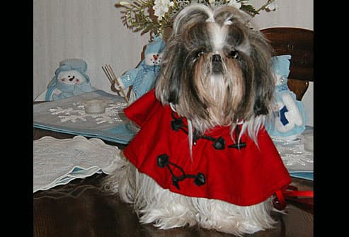 Grey and white terrier in red coat