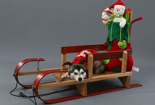 Siberian husky on sled