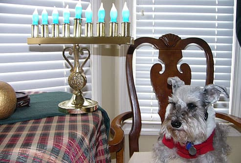 Schnauzer with menorah