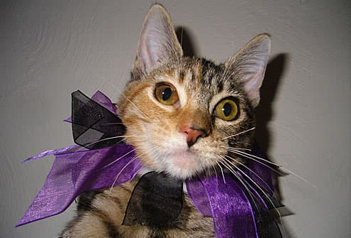 Tabby cat with purple bow