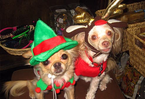 Two Chihuahuas in Christmas outfits