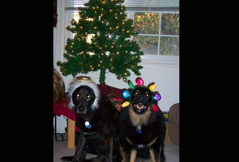 Two dogs in front of xmas tree