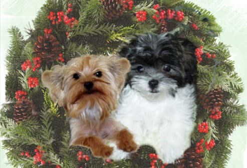 Two dogs in holly wreath