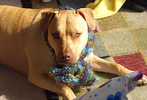 Yellow dog wearing multicolored scarf