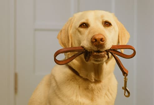 Yellow lab with leash in mouth