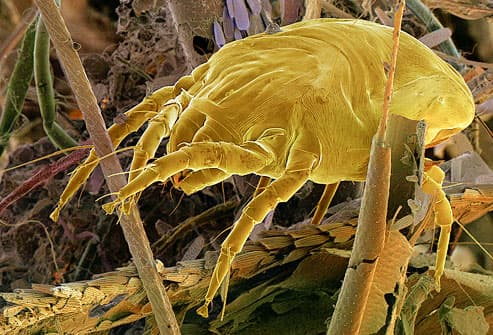 Photo of dust mite scavenging through a dust ball