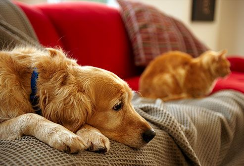 Golden retriever and tabby cat on sofa